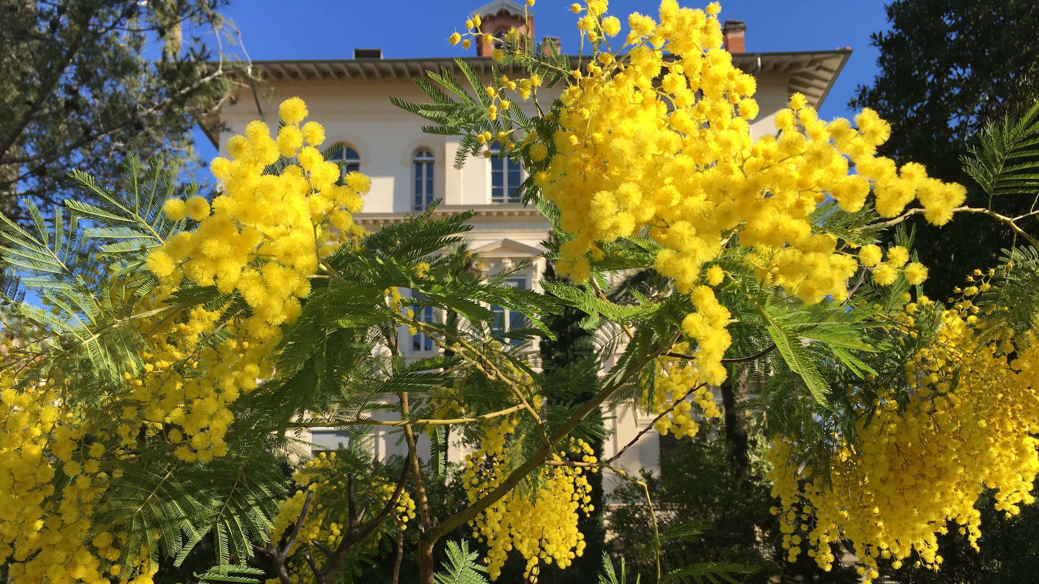 Stan-mimosas